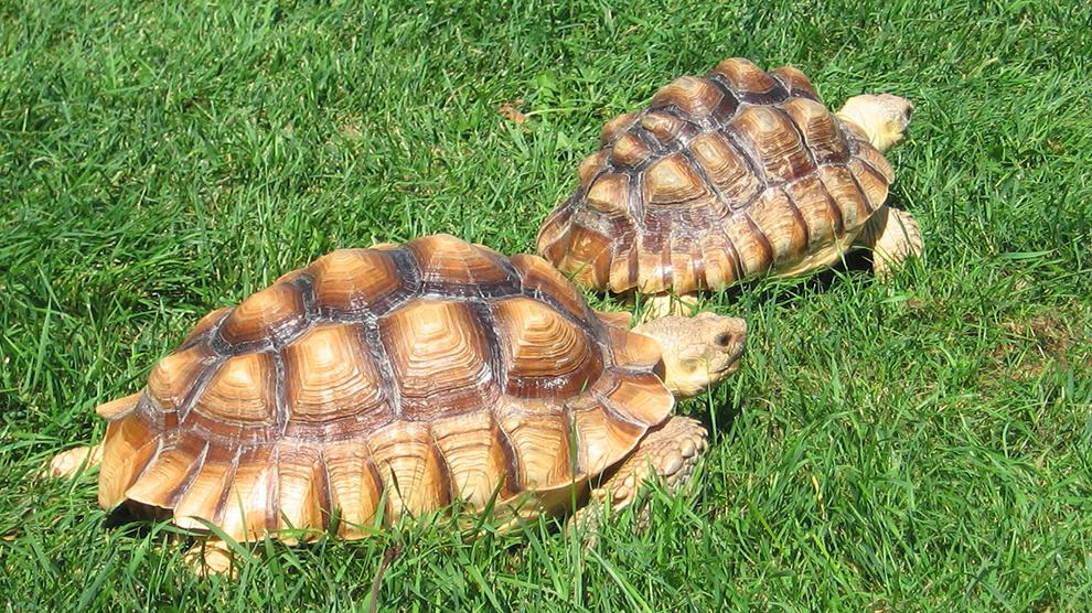 Vendo tortugas sulcatas