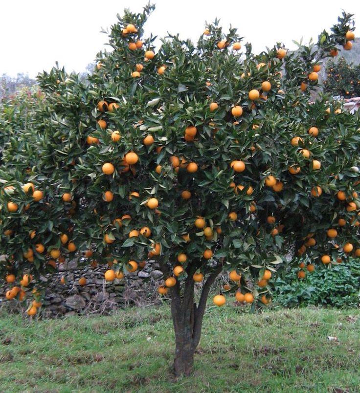 Vendo árboles frutales