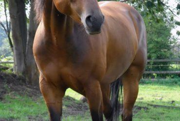 Busco caballo hermoso marron