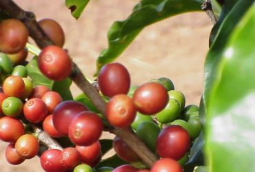 Arboles de café a la venta
