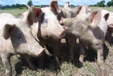 Privado: Cerdos a la venta