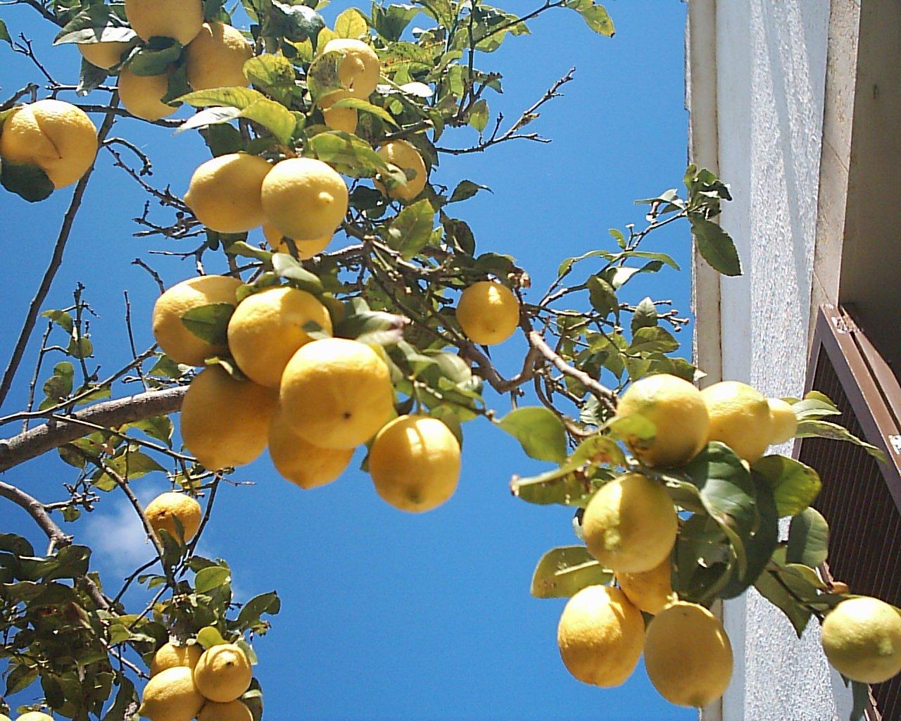 Vendo arboles de limon Meyer