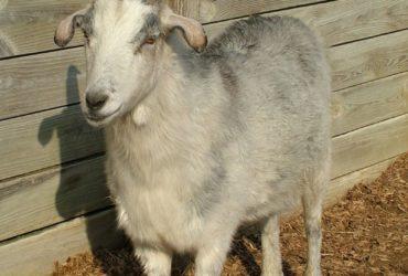 Vendo  cabra Nubian en Mayagüez