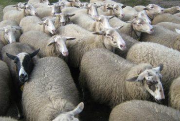 Se busca suplidor de ovejas