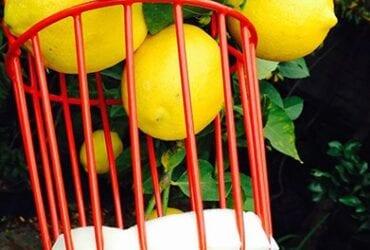 Busco un Recogedor de frutas