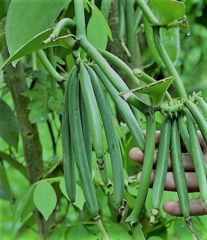 Interesado en talleres para el cultivo de vainilla